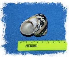 Циттариум пика (Cittarium pica)