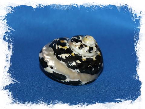 Циттариум пика (Cittarium pica) полированный