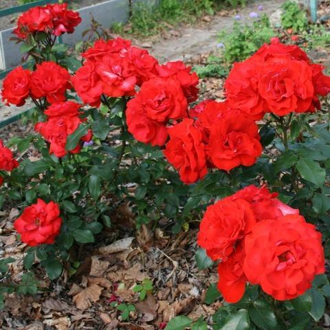 Роза грандифлора Алушта