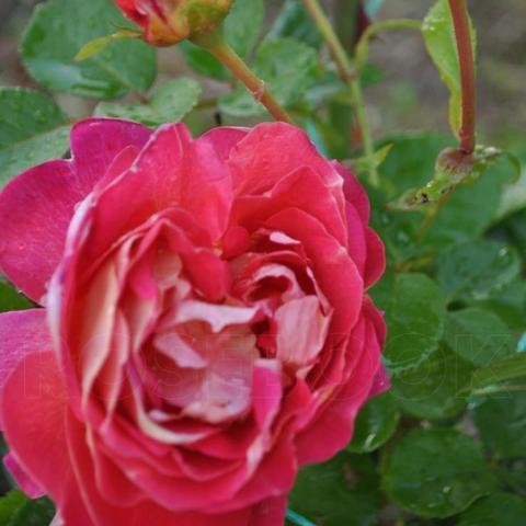 Роза грандифлора Дина