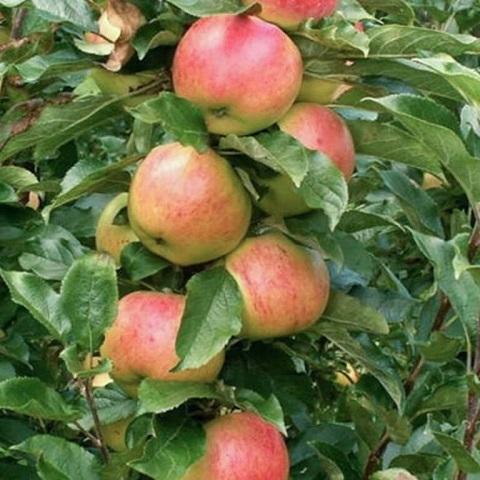 Яблоня колоновидная зимний сорт Валюта