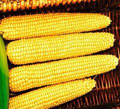 Мегатон F1 семена кукурузы, (Clause / Клос)