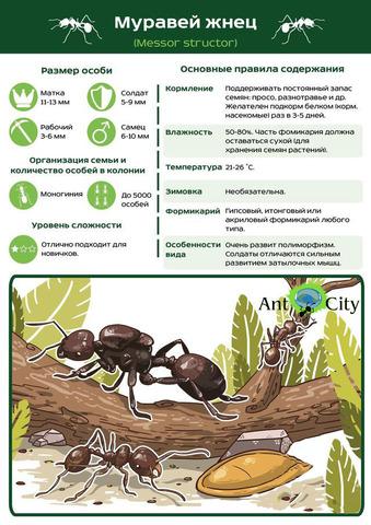 Муравей Жнец - Messor structor (королева + кладка яиц + 10-20 муравьев)