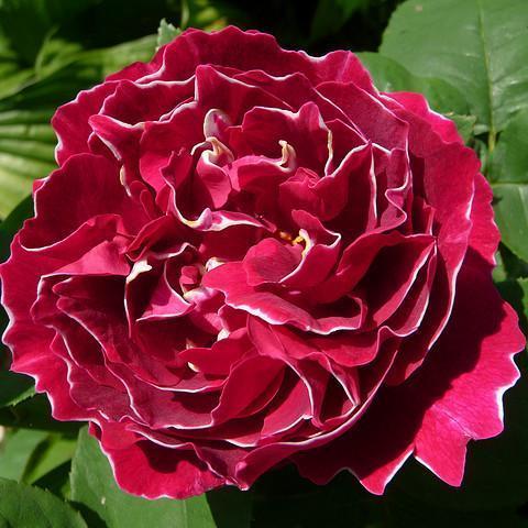 Роза Кустовая Baron Girod de l'ain