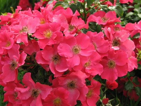 Розита(Rosita)