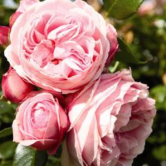 Роза плетистая Джардина