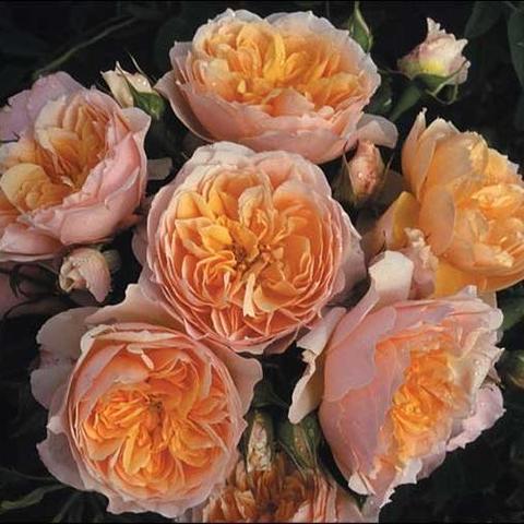 Роза Плетистая Ginger Syllabub