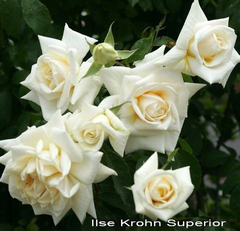 Роза Плетистая Ilse Krohn Superior
