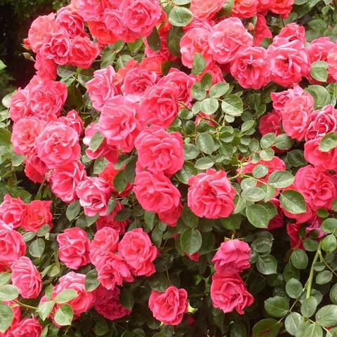 Роза плетистая Девичьи грезы