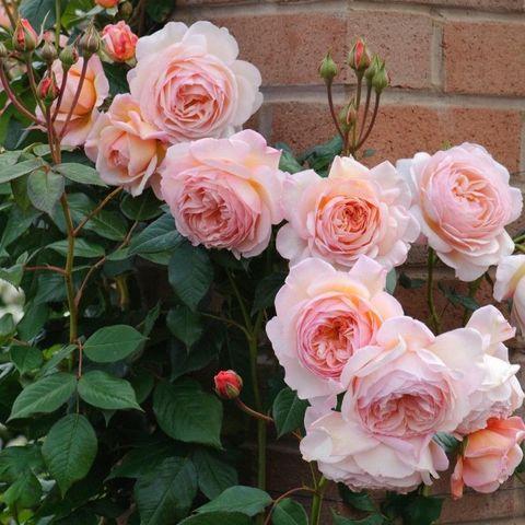 Роза Флорибунда Abe Ausgreen
