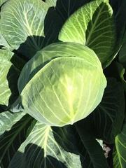 Декурион семена капусты б/к, (Clause / Клос)