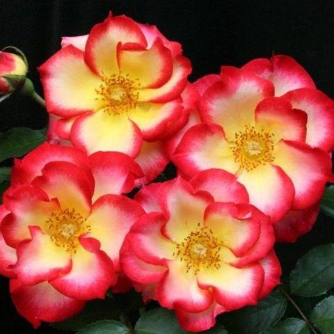 Роза Флорибунда Betty Boop