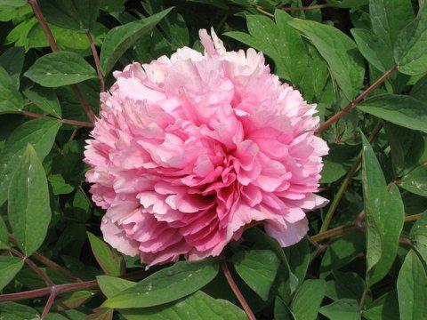 Пион древовидный Розовый Лу (в тубе)