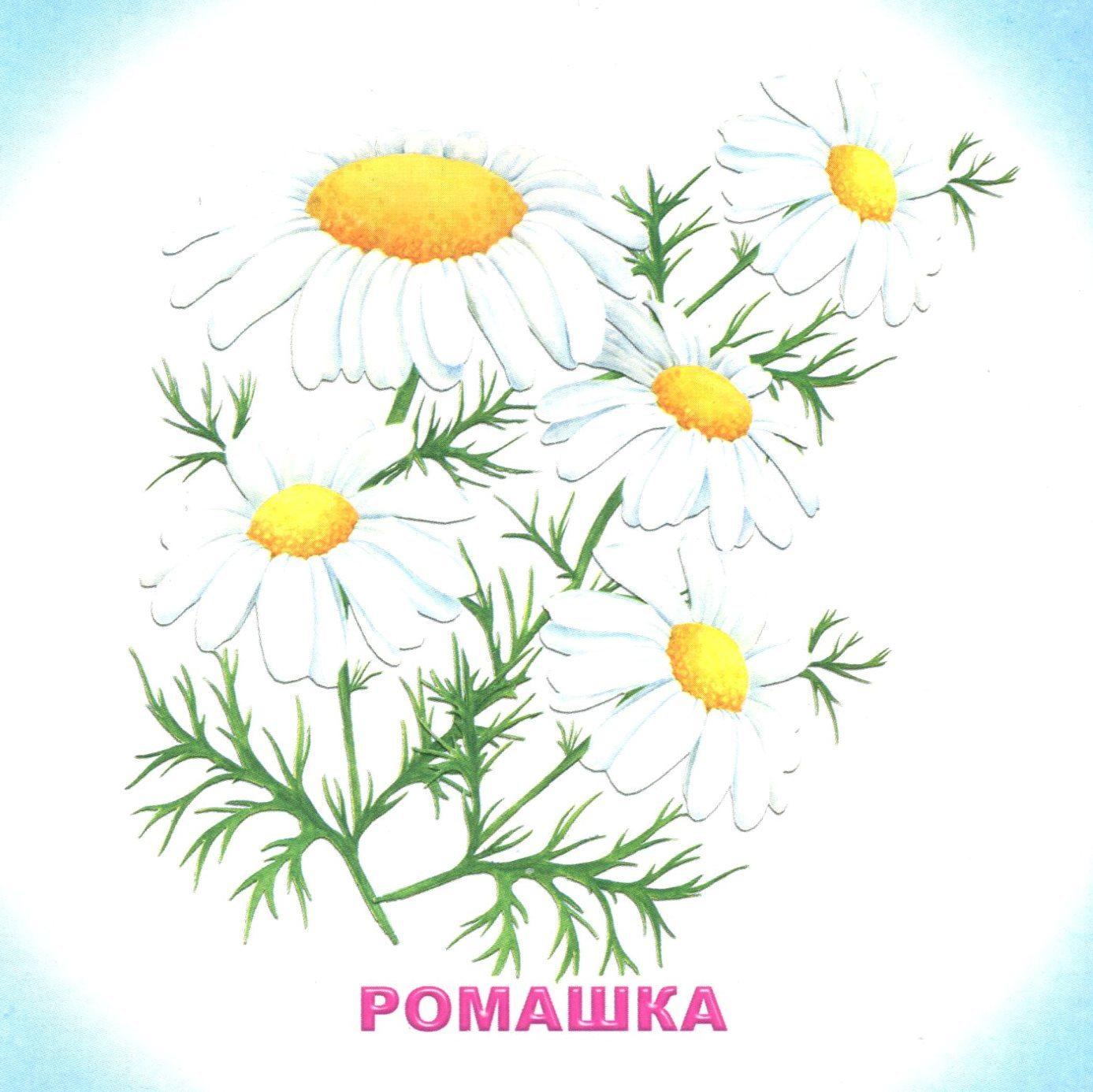 Картинки с изображением цветов одуванчик ромашка роза колокольчик ландыш, картинки