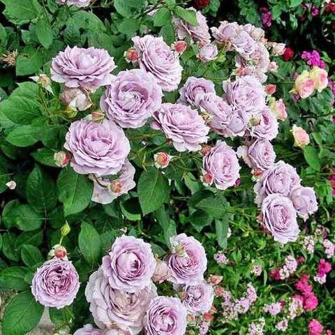 Роза флорибунда Новалис