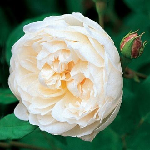 Роза английская душистая Глэмис Касл