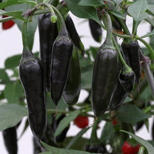Перец чили (Черный перец) Chenzo