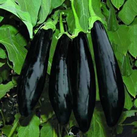 Баклажан Анамур F1 семена баклажана, (Rijk Zwaan / Райк Цваан) АНАМУР_F1_семена_овощей_оптом.jpg