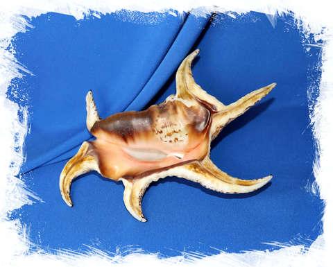 Раковина Ламбис Хирагра (Lambis chiragra) коллекц.