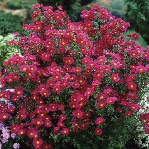 Астра ново-бельгийская Crimson Brocade