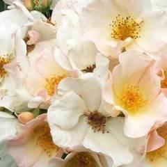 Роза мускусный гибрид Салли Холмс
