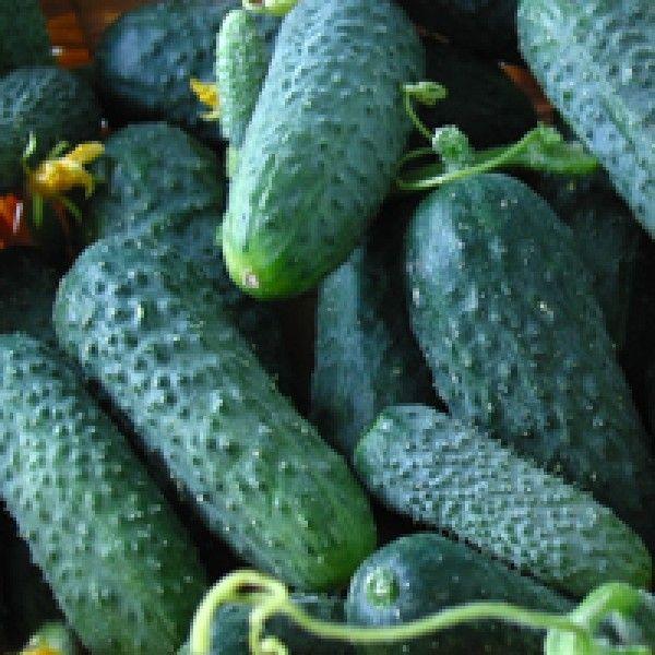 Огурец Мадита F1 семена огурца партенокарп., (Seminis / Семинис) Мадита_семена_овощей_оптом.jpg