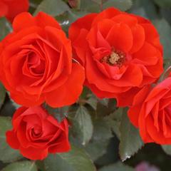 Роза чайно-гибридная Бриллиант