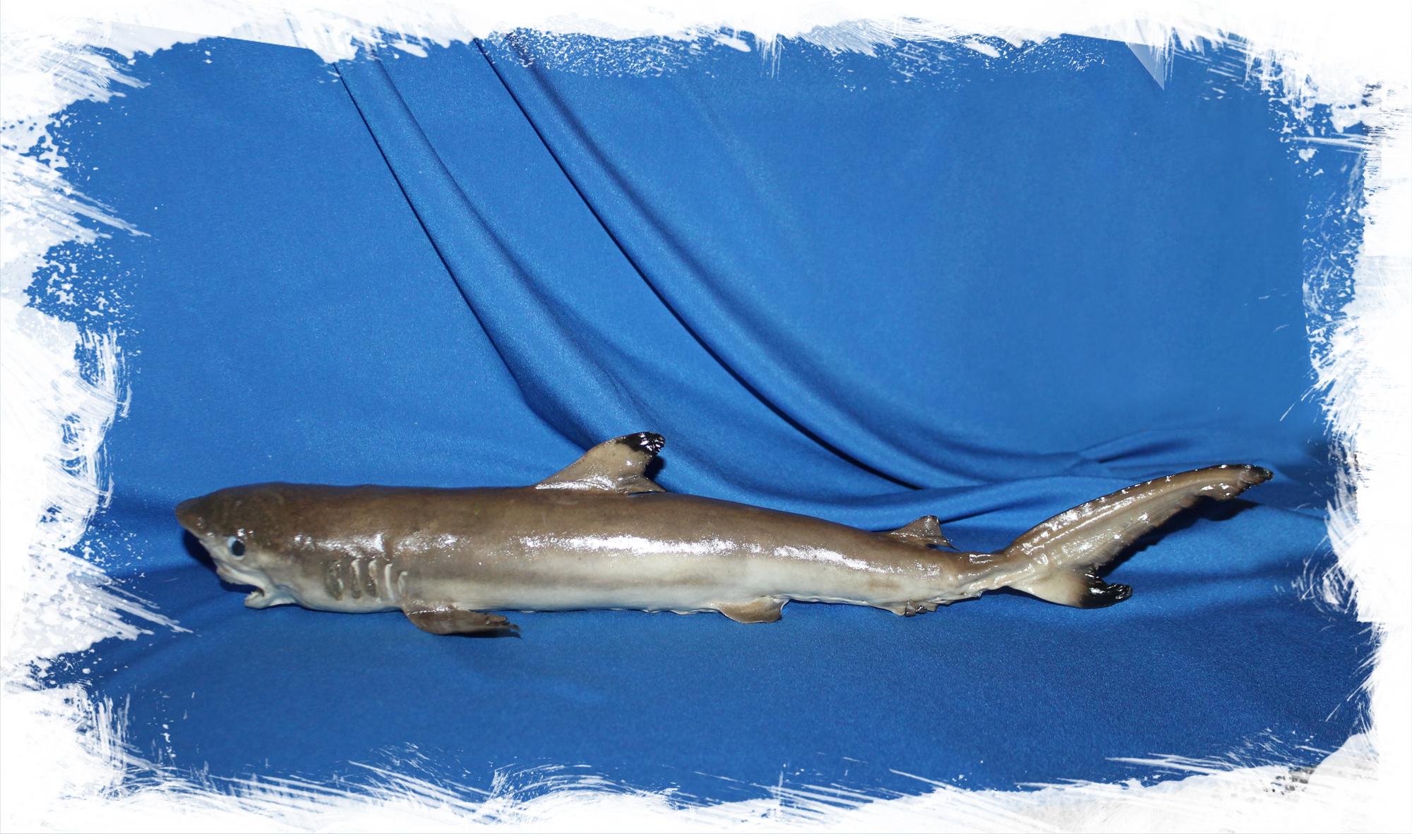 Сушеная акула