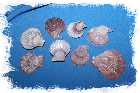 Фиолетовые морские ракушки