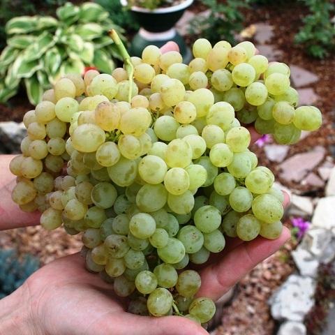 Виноград столовый сорт Кишмиш Венгерский