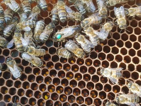Пчеломатка карника F1