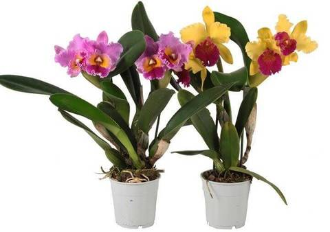 Где можно купить орхидеи в москве недорого
