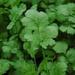 Санто семена кориандра (Sakata / Саката)