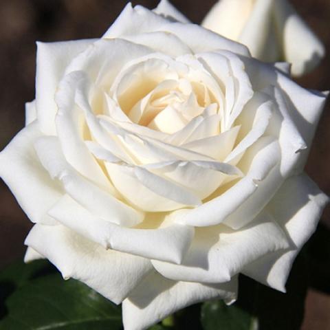 Роза чайно-гибридная Мачо
