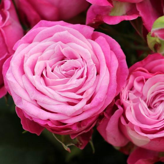 Купить букет розовых сиреневых кустовых пионовидных роз Леди Бомбастик в Перми