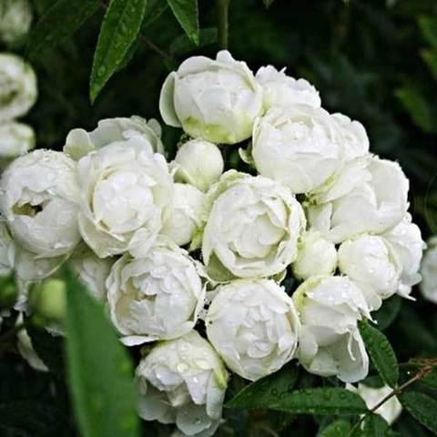 Роза миниатюрная Вайт Морсдаг