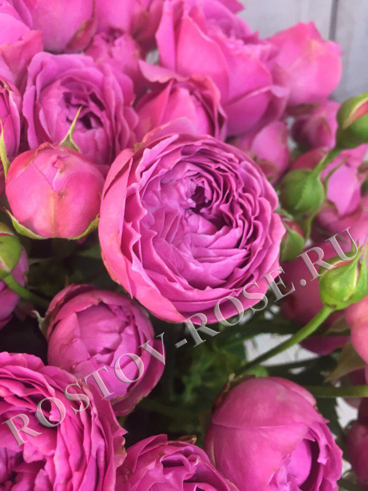 Кустовая пионовидная роза сорта Мисти Баблс