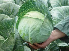 Белокочанная Юниор F1 семена капусты белокочанной, (Syng.) Юниор_F1.jpg