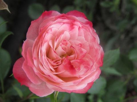 Розы миниатюрные Тини-Вини
