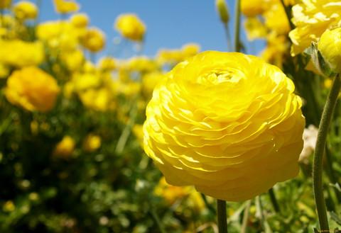 Ранункулюс желтый (10 луковицы)
