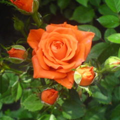 Роза бордюрная Аллергия