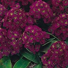 Семена цветов Алиссум Эстер Боннет Виолет, PanAmerican Seed, 50 шт.