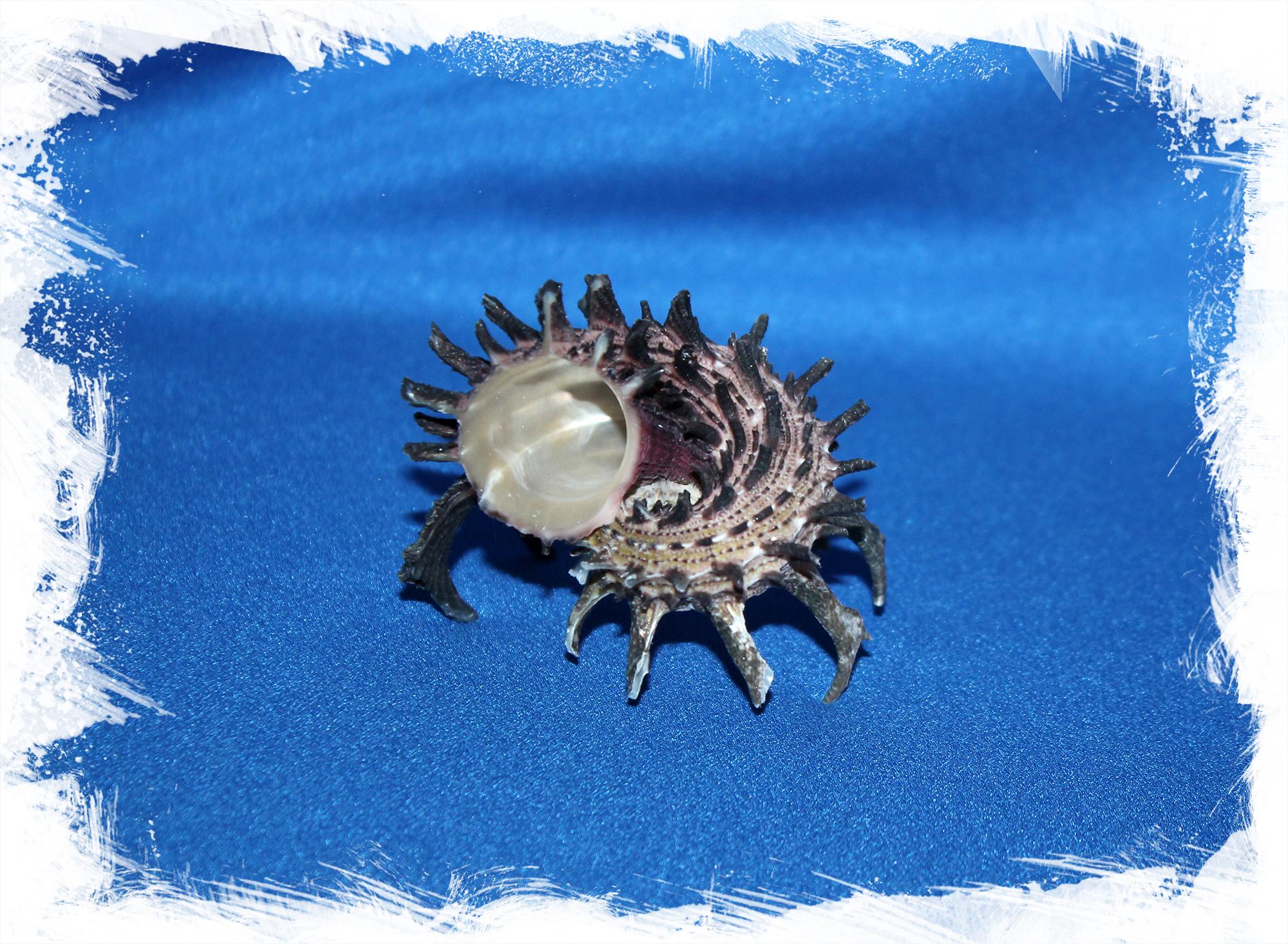 Раковина Ангария империалис, Ангария империалис, Angaria imperialis, Angaria melanacantha