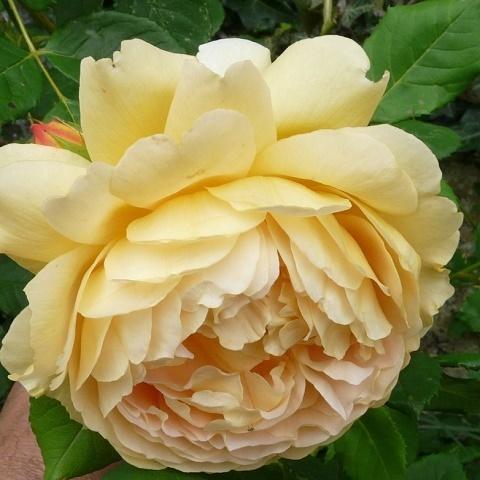 Роза английская душистая Голден Селебрейшн
