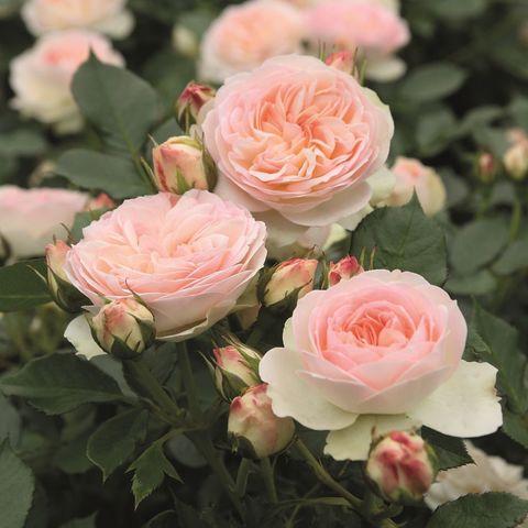 Роза флорибунда Пастелла