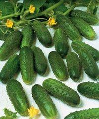 Маринда F1 семена огурца партенокарпического (Seminis / Семинис)