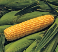 Бонус F1 семена кукурузы, (Syng.)