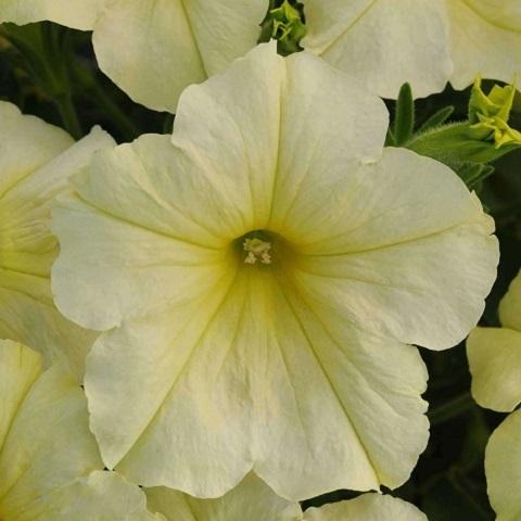 Петуния крупноцветковая желтая
