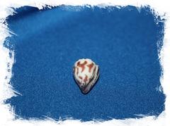 Морская раковина Conus sponsalis, Свадебный конус