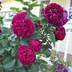 Роза плетистая Соул